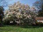 The spectacular magnolia in full bloom ...