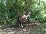 One of the numerous wild horses.