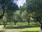 olive yard 1