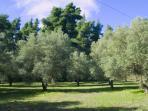 olive yard 2