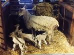 Leicester ewe with her quads