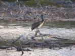 A rare Pelican