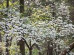 Dogwoods everywhere