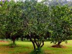Our Fruit Orchid, Lemon, Lime, Orange and Grapefruit Trees at Riverbend Byron Hinterland Retreat