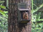Red squirrel at the Lodge just a short drive from the Studio