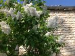 The scented white lilac tree in May, just next to the gite.