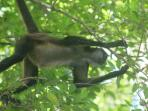 In Feb. 2016 we saw a spider monkey just like this one climbing through the trees by the house!