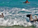 Swimming with pelicans at the Playacar beach