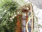 Jasmine tree in the secluded garden of the house