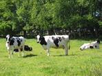 Kühe in Ostfriesland