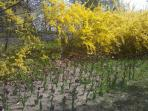 Forsythia in Bloom