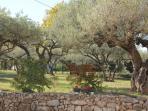 Une centaine d'oliviers sur 1 Ha de terrain clos