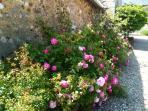 Les rosiers sont omniprésents dans la cour du Clos du Manoir. Ici ceux qui bordent la grange dîmière