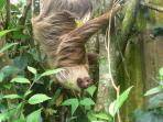 Sloth hanging out in the backyard of Casa Verde