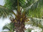 Cocotier de la plage de l'Anse à l'Ane