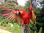 rescued scarlet macaw at local organic lettuce farm
