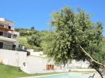 Olive oil tree by the swimming Pool