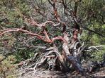 Manzanita on the property