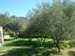 olive grove in our garden