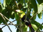 Toucan, sitting in tree right outside the cabin door!
