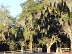 Live Oaks trees in the morning sun.