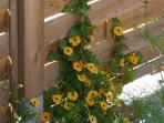 fleurs grimpantes sur le claustra de la terrasse