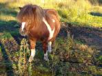 Shetland pony at the holiday village