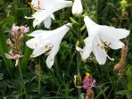 Spezielle Frühlingsbergblume