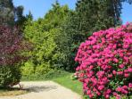 The rhododendrons in bloom