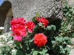 Roses adorning the traditional thatch