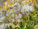 Ventnor Wall Lizard