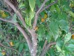 oranges growing in the garden