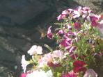 Hummingbirds often visit our flower arrangements
