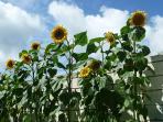 Sun flowers in bloom in back garden