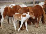 Chincoteague Ponies and a New Foal
