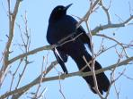 Our blue/back raven is calling you.