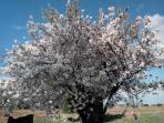 Un almendro en floración explosiva, los meses de marzo son maravillosos en la zona.