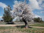 La zona es una de las mayores productoras de almendras ecológicas del mundo. Un almendro florido.
