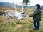 Feeding the Cairngorm Reindeer