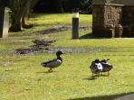and finally, the ever so friendly ducks at Whitbarrow, always happy to entertain!