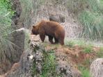 Oso en semilibertad en Parque de la Naturaleza de Cabarceno