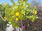 pIck your own lemon for your G & T