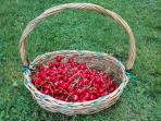 From the end of May until the end of June you will be able to taste cherries from the garden