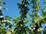 We even have plum trees in the garden - their season starts in the middle of August ...