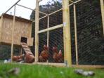 Poule du jardin pour des œufs bio