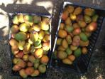 Boxes of mangoes from the garden,  in July