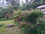 A beautiful rose garden and grape trellis in the backyard