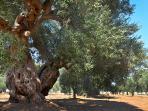 la macchia mediterranea  con i suoi alberi d'ulivo secolari per poi arrivare al mare