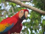 Scarlet McCaws have been reintroduced to Manuel Antonio