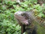 Hello Mr. Iguana!